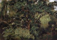 Ахтырский дуб. Начало