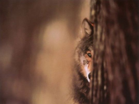 Волк за деревом