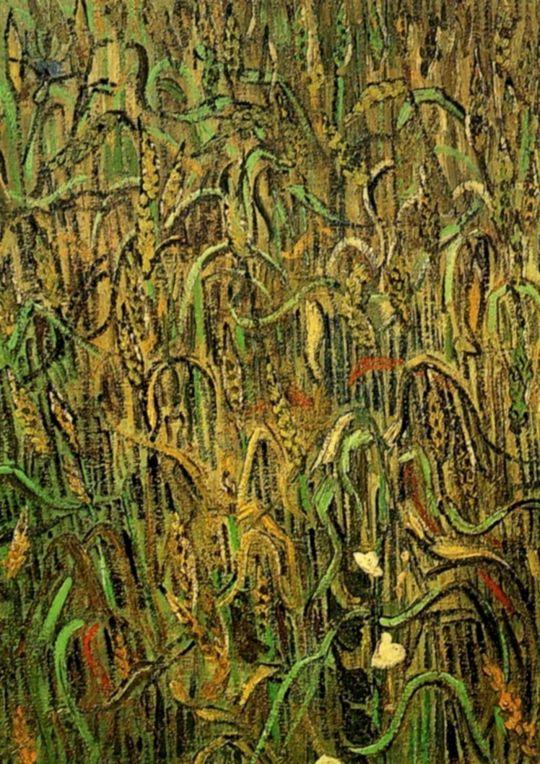 Пшеничные колосья