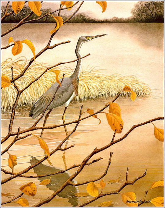 Луизианская (серая) цапля