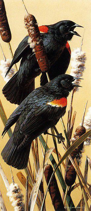 Краснокрылые черные дрозды