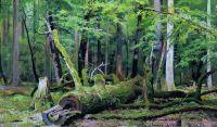 Срубленный дуб в Беловежской пуще.