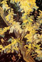 Ветви цветущей акации