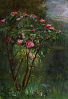 Роуз Буш в цвету