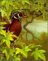 Американская (траурная) утка