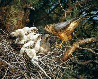 Кречеты в гнезде