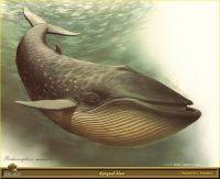 Голубой кит-полосатик