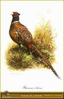 Колхидский фазан