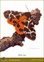Бабочка-медведица