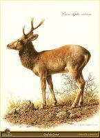 Корсиканский олень