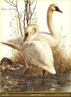 Лебеди-трубачи