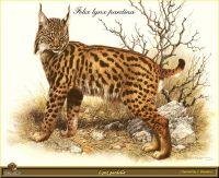 Рысь с окрасом леопарда