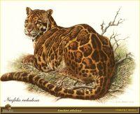 Леопард темного окраса