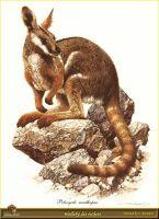 Кенгуру-валлаби, обитающий в скалах