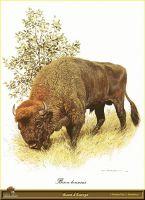 Европейский бизон