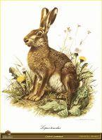 Заяц обыкновенный