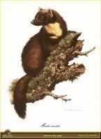 Куница, обитающая в сосновых лесах