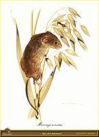Крыса, питающаяся зерновыми на корню