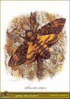 Сумеречная бабочка Мертвая голова