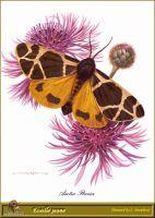 Молодая бабочка-медведица