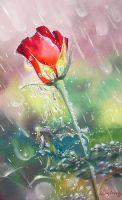 Роза в дожде